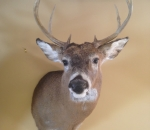 Michigan Deer Mounts
