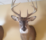 michigan-deer-mounts-taxidermy