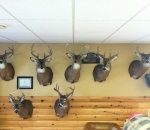 Taxidermy Showroom Michigan