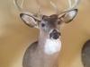 Deer Mounts Michigan