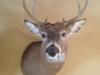 Michigan Deer Mounts